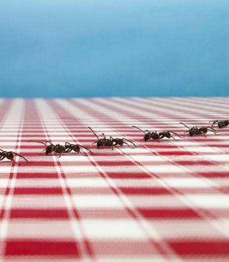 Dansen ze bij jou op de keukentafel? Dit jaar zijn er dubbel zoveel mieren. 'Zet geen lokdoos in huis'