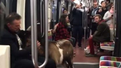 Man steelt geit in Parijs en stapt ermee op metro