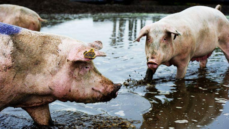 Varkens nemen een modderbad in hun poel in Esch. Beeld ANP