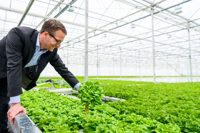 Willem Bas van B-Four Agro oogt de 'eerste' krop sla voor AH.
