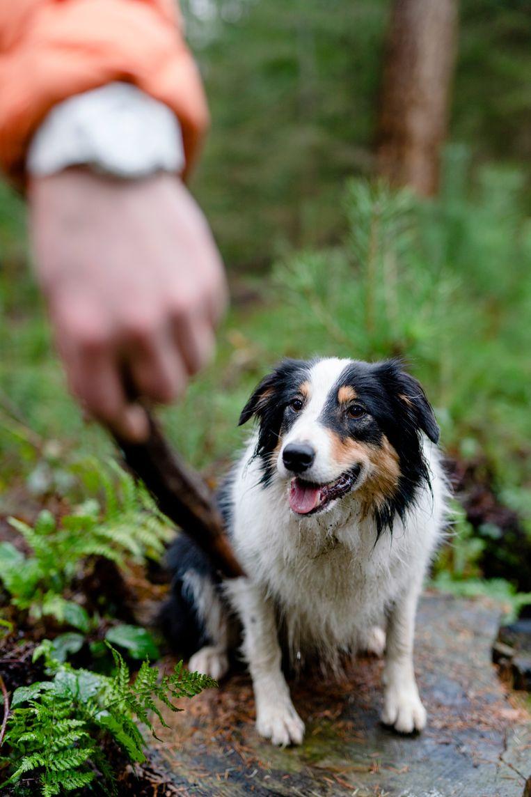 Umka is een Aussie, een kruising tussen een Australian shepherd en een bordercollie. Beeld Jordi Huisman