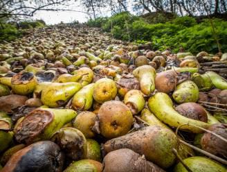 """Vier ton aan rottende peren gesluikstort in Loons natuurgebied vlak bij dassenburcht: """"Wie doet nu zoiets?"""""""