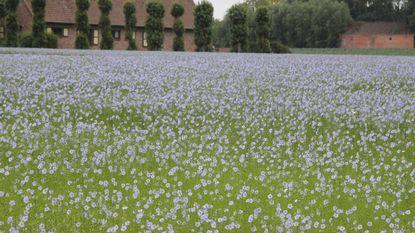 Vlasvelden zorgen opnieuw voor lila kleurenpracht