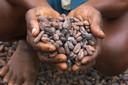 De cacaoteelt verkeert in een crisis.
