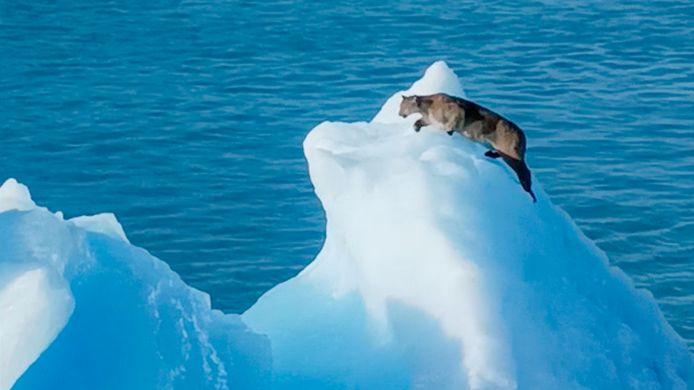 Les passagers d'un bateau de croisière ont eu la surprise de leur vie lorsqu'ils ont aperçu un puma sur un iceberg.