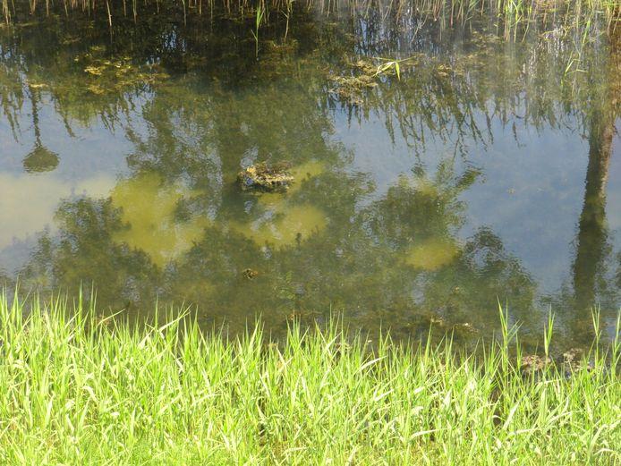 In deze singel in de Rietkampen groeien op sommige plekken geen waterplanten, het vervuilde grondwater zou er omhoog komen.