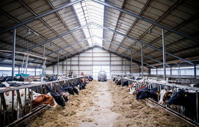 Deze koeien staan op stal bij een melkveehouder in Reeuwijk.