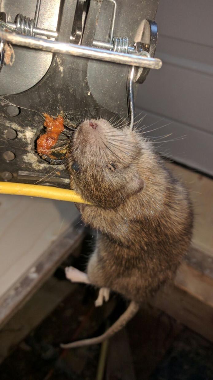 In de wijk de Zandweerd zijn door een professioneel rattenvanger al vele tientallen ratten gevangen. Foto archief