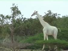 Zeldzaam wit giraffenduo gespot in Keniaans reservaat