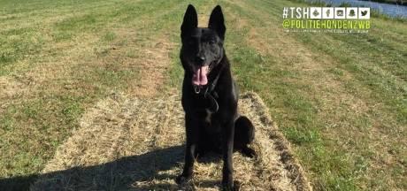 Inbreker verstopt zich in maisveld in Molenschot, politiehond is hem te snel af