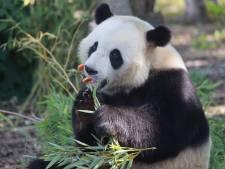 Le panda Tian Bao restera plus longtemps que prévu en Belgique