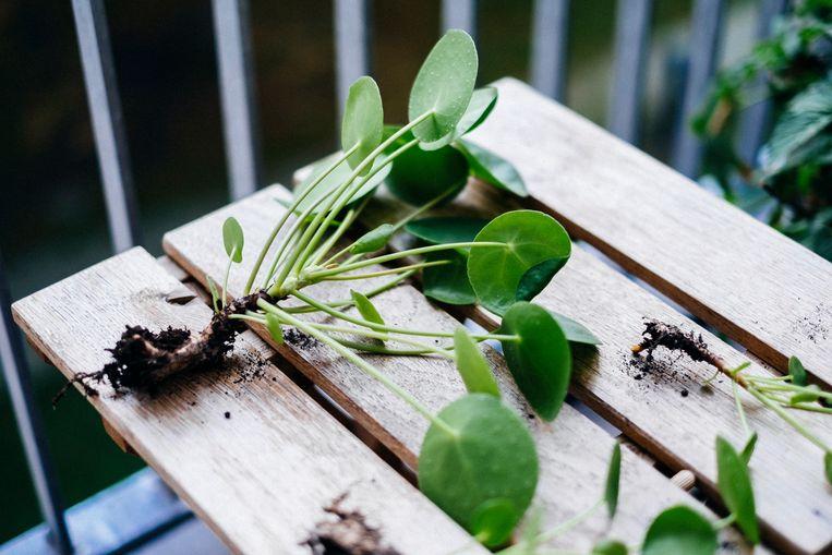 Pannenkoekplant stekken Beeld Getty Images