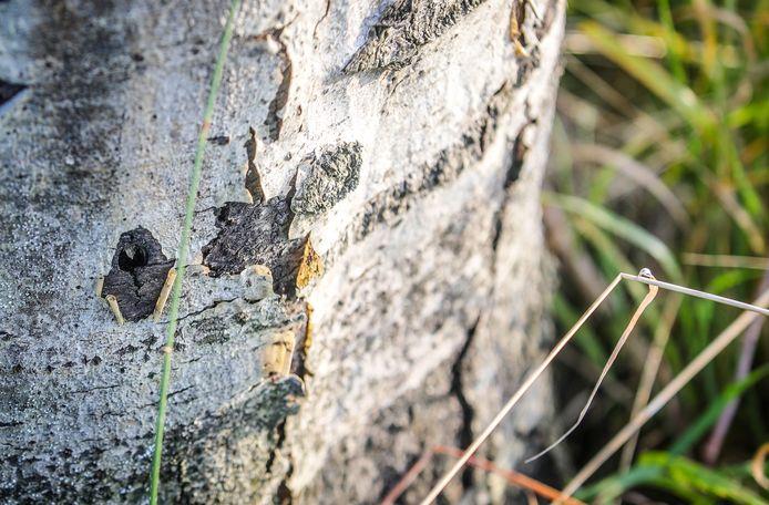 Bomen in Reninge sterven door opzettelijke vergiftiging