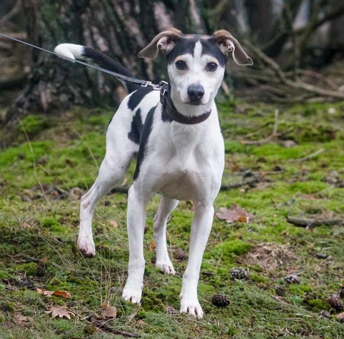 De eerder vermiste hond Bobby. De boerenfox verdween uit een asiel in Ede.