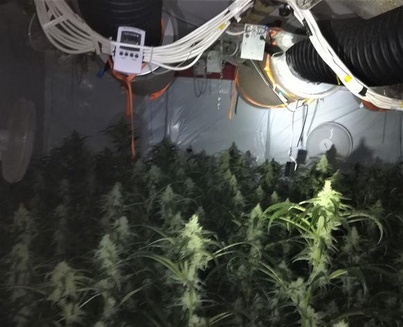 In een woning in Wellen werden nog eens 400 cannabisplantjes aangetroffen