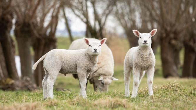 Schietoefeningen 11 en 12 mei afgelast, schapen moeten nieuwe brand voorkomen