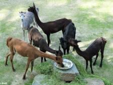 """Zoo verwelkomt alpaca's van Planckendael: """"Plekje vrij sinds verhuis dromedarissen"""""""