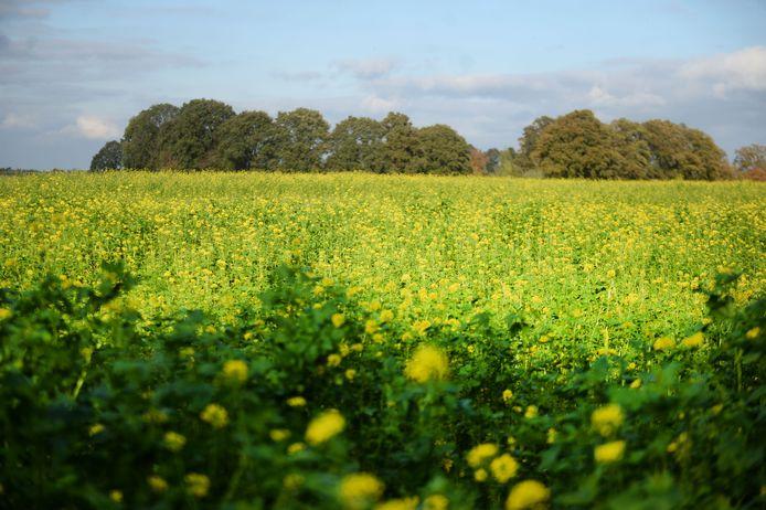 Een veld vol mosterdplanten waarvan de zaadjes gebruikt worden als specerij. Wanneer de zaden worden gemalen en vermengd met azijn en water, ontstaat mosterd.