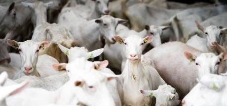 GGD-advies niet doorslaggevend,  vergunning geitenstal Rossum definitief