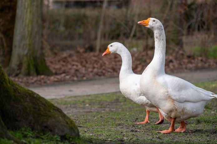 De ganzen in Papenhof zijn weer verenigd