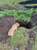 Simba wordt begraven, Diesel kijkt toe.