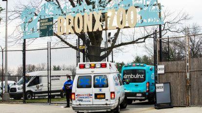 Nog eens vier tijgers en drie leeuwen in de Bronx Zoo testen positief op coronavirus