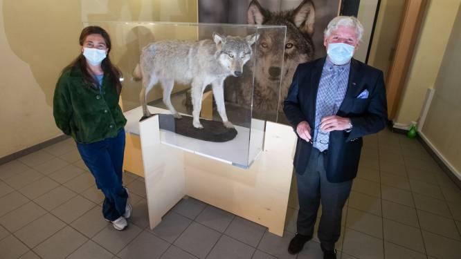 Wolven blijven 'hot' in Limburg: vernieuwde expo en speciale themawandelingen