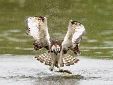De mysterieuze visarend toont de kracht van de Biesbosch, maar waar blijft het vrouwtje?