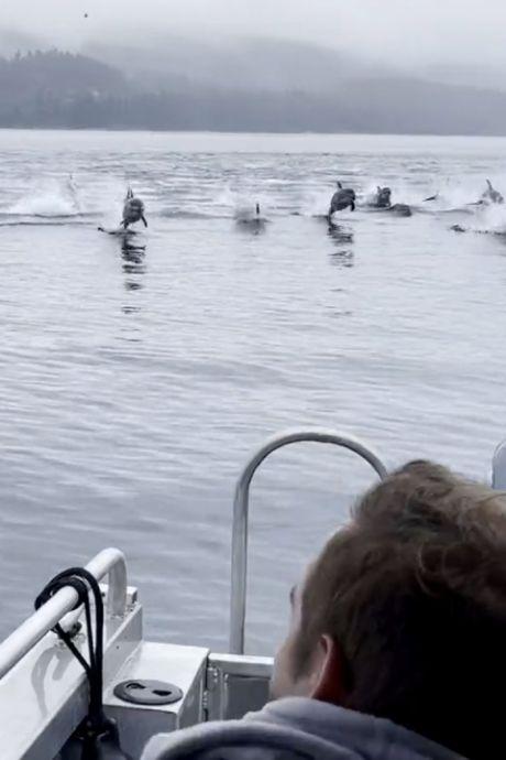 Les images impressionnantes de 150 dauphins pris en chasse par des orques