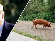 Nieuws gemist? Edes varken ontsnapt keer op keer en wordt Trump opnieuw president?