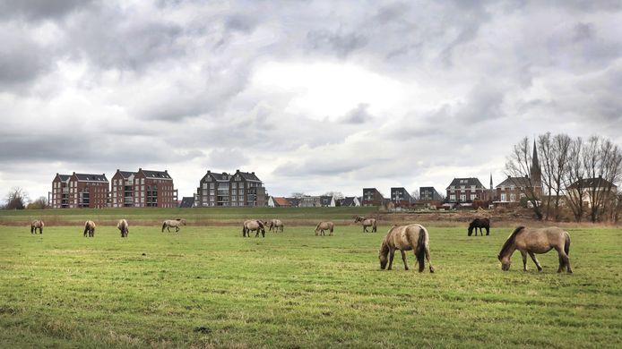 Konikpaarden hebben de plaats van koeien ingenomen in de uiterwaarden ten oosten van Druten.