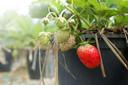 Aardbeien zijn lastig op te kweken uit zaad. Hier zijn stekken van de moederplant voor nodig.