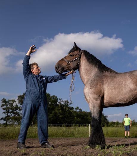 Dat het Belgisch trekpaard in Diepenheim gigantisch is, is een understatement