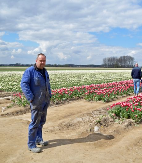 Hekken en politie om de tulpen van Pieter Suy uit Absdale te beschermen: 'Dit heb ik nog nooit meegemaakt'