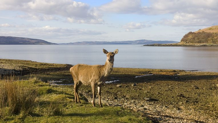 Een hert aan de Schotse kust. Beeld thinkstock