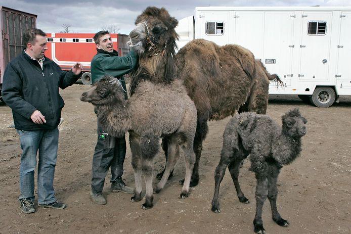 Archieffoto van Bert Roelofs (links) aan het werk met zijn dieren.