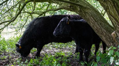 Schotse runderen grazen op domein Fort 3