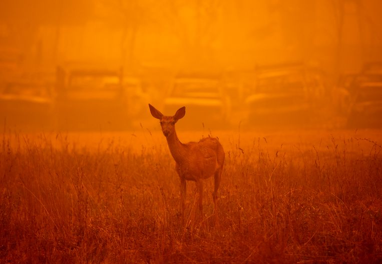 Een hert in de dikke rook van een Californische bosbrand in augustus. Beeld AFP