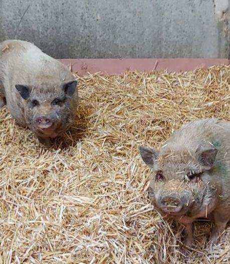 Wie bezorgt deze drie hangbuikvarkens een nieuwe, warme thuis?