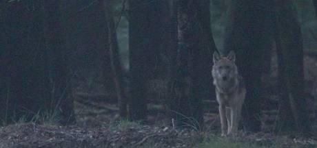 Patrick (50) ging op de Veluwe op zoek naar wolven. En hij vond ze, tot twee keer toe: 'Een droom die uitkomt'