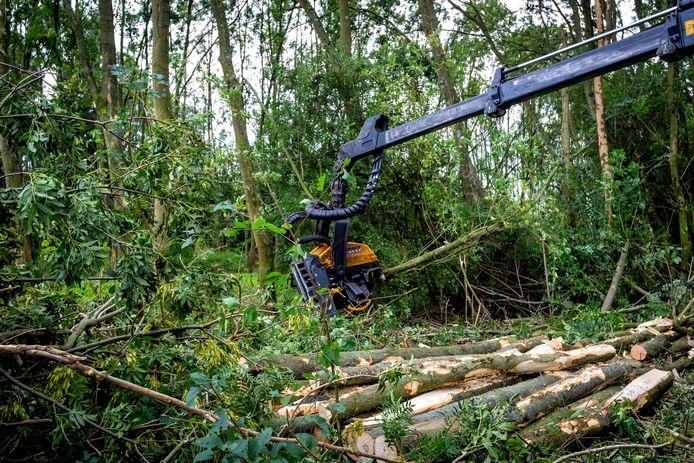 De essentaksterfte zorgt voor flinke bomenkap.