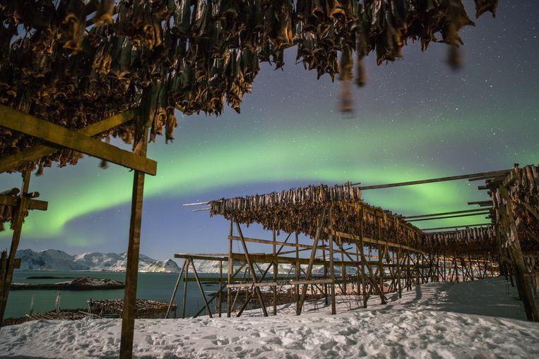 Het klimaat op de Noorse eilandengroep Lofoten is perfect om kabeljauw te drogen: niet te koud, niet te warm. Beeld Eric Fokke
