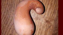 Kip legt opmerkelijk ei: niet ovaal, maar langwerpig