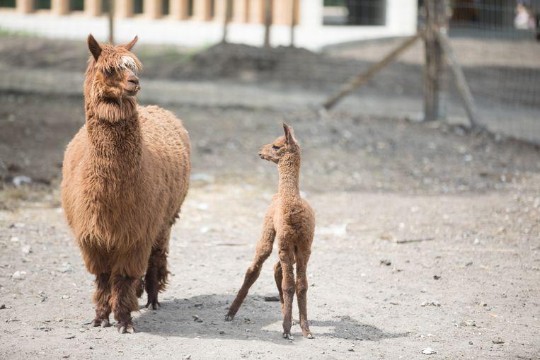 In La Biomista in Genk zijn 2 Alpaca's geboren