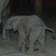Olifantje geboren in Beekse Bergen na recorddracht van 680 dagen