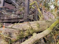 130 jaar oude kastanjeboom op campus Ledeganck HOGENT geveld door de wind