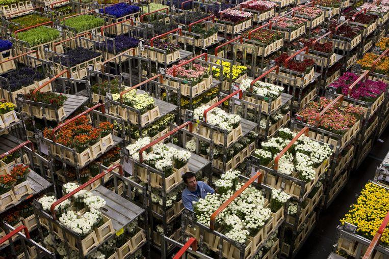 In de eerste vier maanden van dit jaar is de omzet op de grootste bloemenveiling ter wereld acht procent gekrompen. Foto ANP Beeld