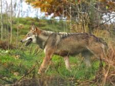Bioloog maakt zich zorgen: 'Wolven laten zich echt niet stoppen door een hekje'