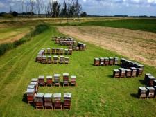 Onderzoekers waarschuwen: 'Zet geen honderden bijenkasten in de Biesbosch, de wilde bij overleeft dat niet'