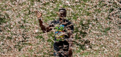 Les criquets ravageurs touchent aussi la RDC, une famine redoutée